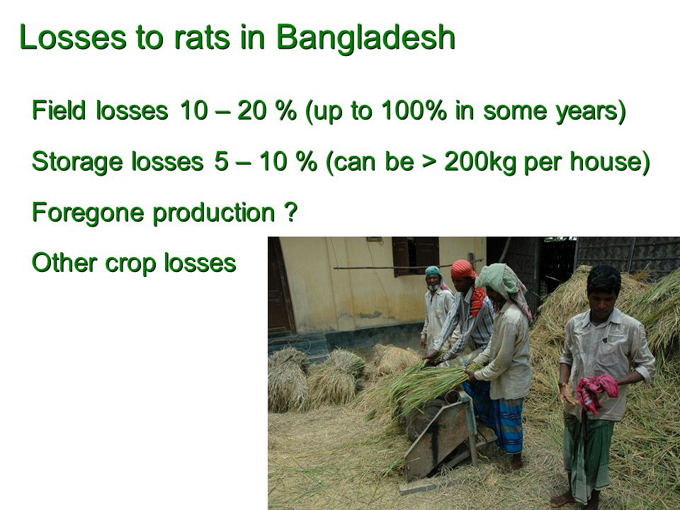 Losses to rats in Bangladesh Field losses 10 – 20 % (up to 100% in some years) Storage losses 5 – 10 % (can be > 200kg per house) Foregone production .