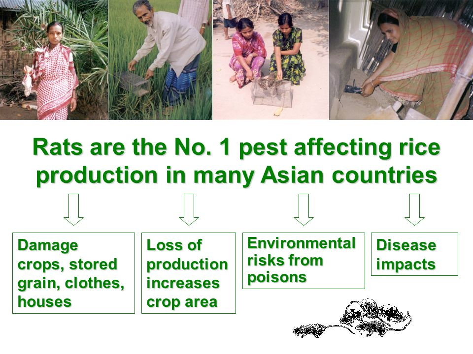 Damage crops, stored grain, clothes, houses Loss of production increases crop area Environmental risks from poisons Disease impacts Rats are the No.