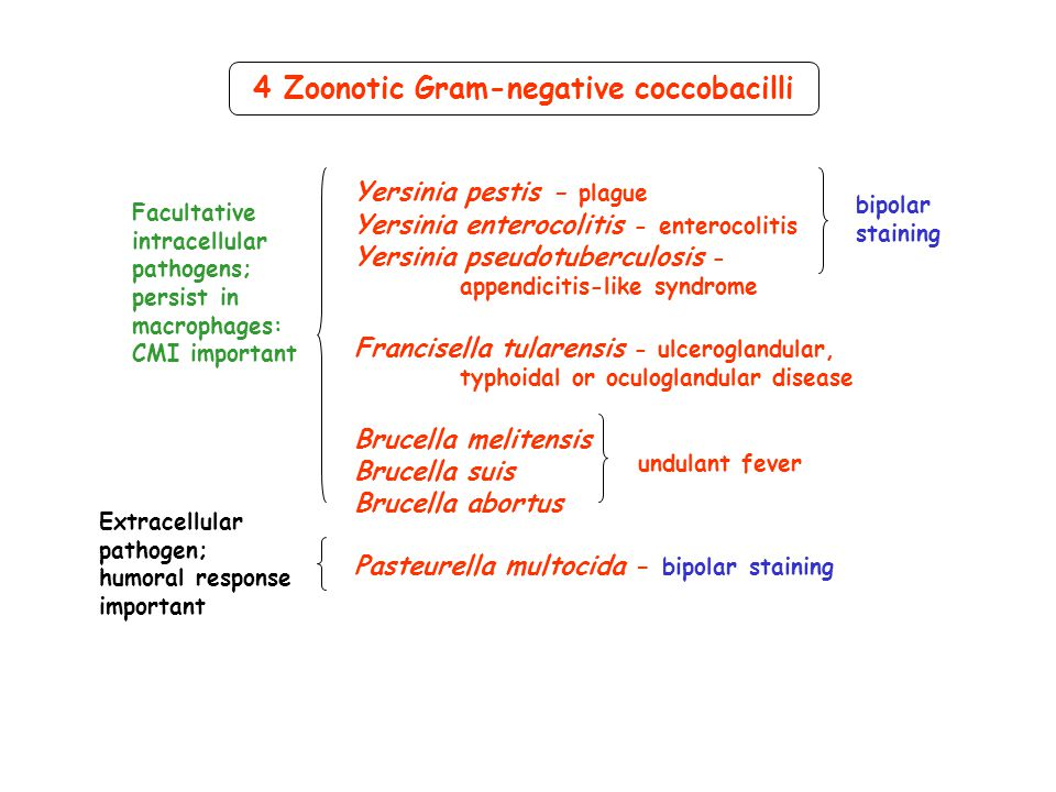 Yersinia belongs to Enterobacteriaceae - gram negative rods, which ferment glucose and are oxidase negative 3 species are pathogenic to man Yersinia pestis = cause of plague Y.