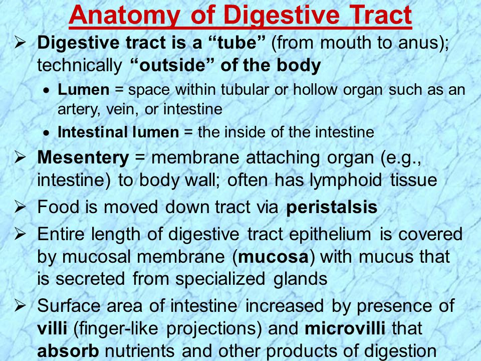 " Digestive tract is a ""tube"" (from mouth to anus); technically ""outside"" of the body  Lumen = space within tubular or hollow organ such as an artery"