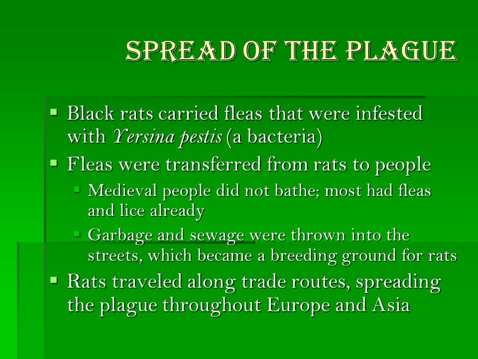 Spread of the Plague  Black rats carried fleas that were infested with Yersina pestis (a bacteria)  Fleas were transferred from rats to people  Medieval people did not bathe; most had fleas and lice already  Garbage and sewage were thrown into the streets, which became a breeding ground for rats  Rats traveled along trade routes, spreading the plague throughout Europe and Asia