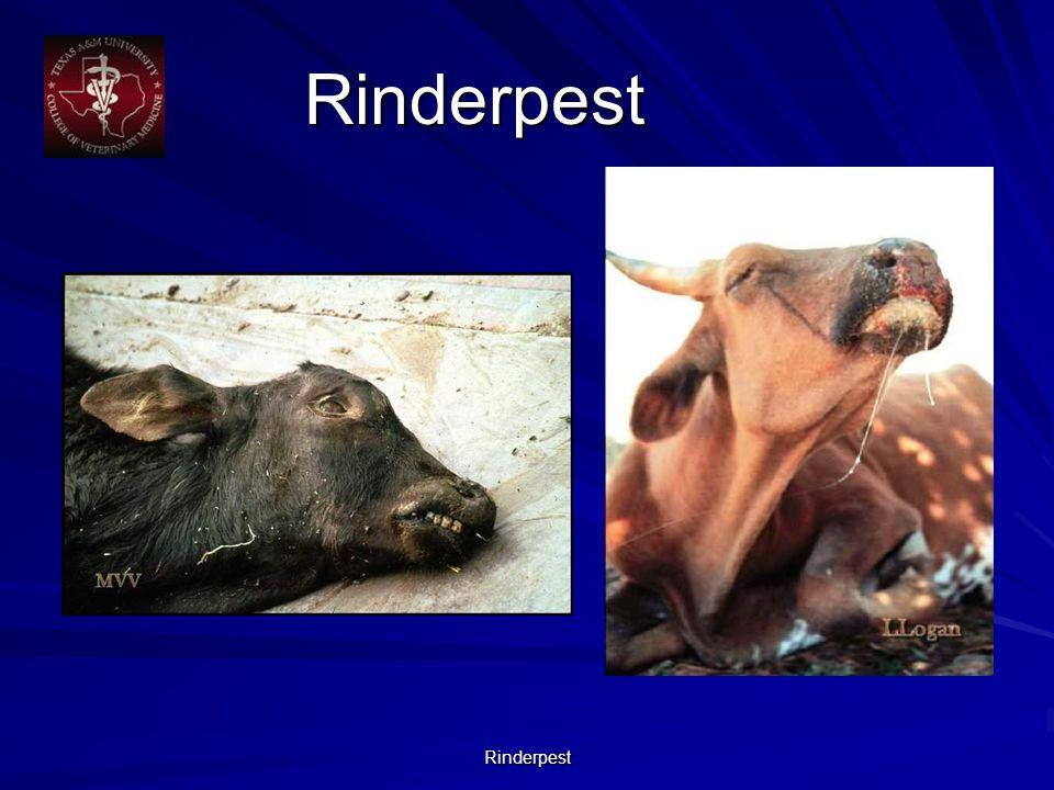Rinderpest Rinderpest