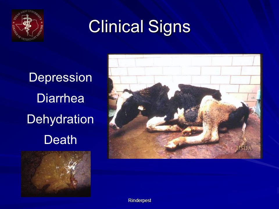 Rinderpest Depression Diarrhea Dehydration Death Clinical Signs