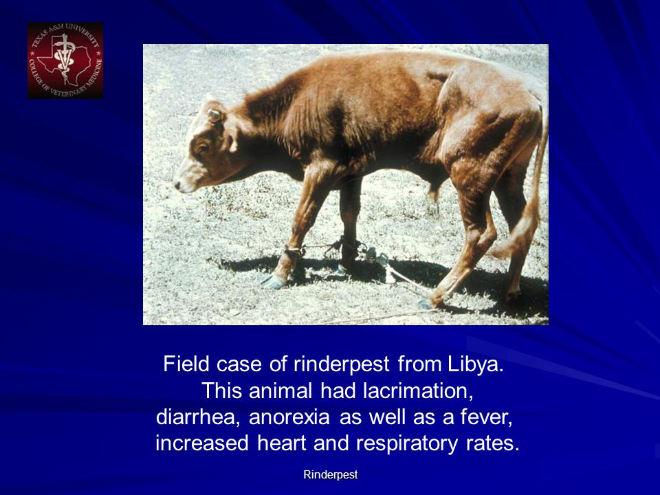 Rinderpest Field case of rinderpest from Libya.