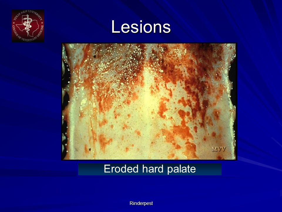 Rinderpest Eroded hard palate Lesions