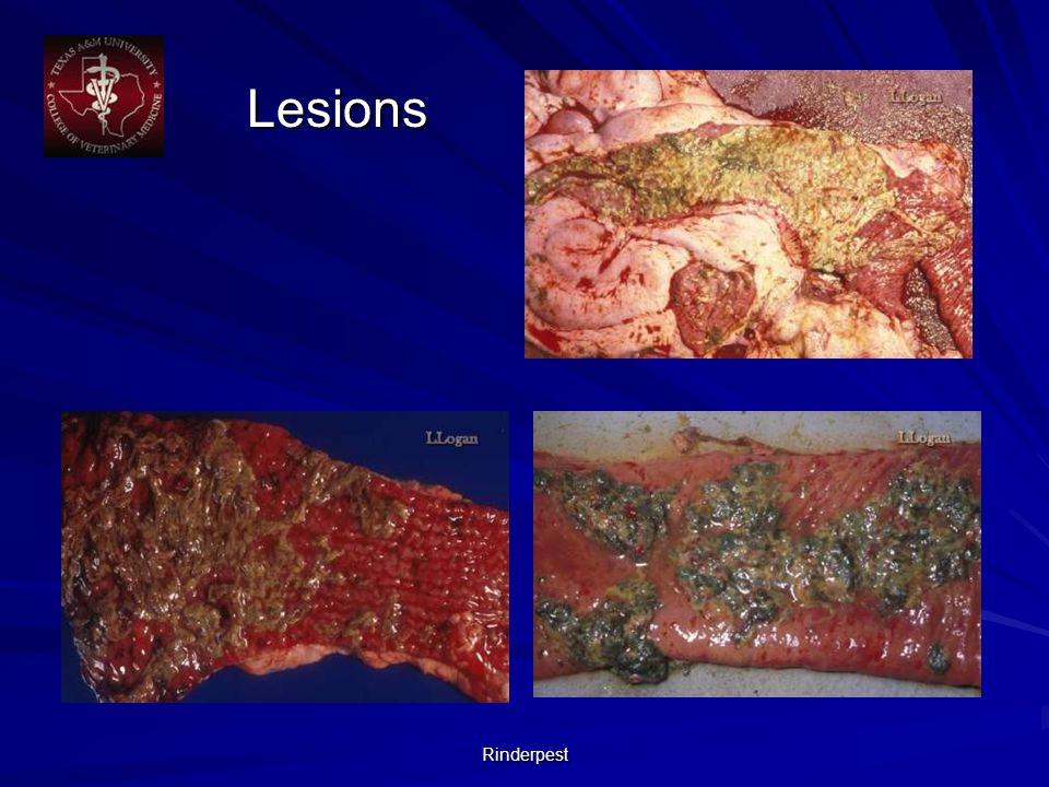 Rinderpest Lesions