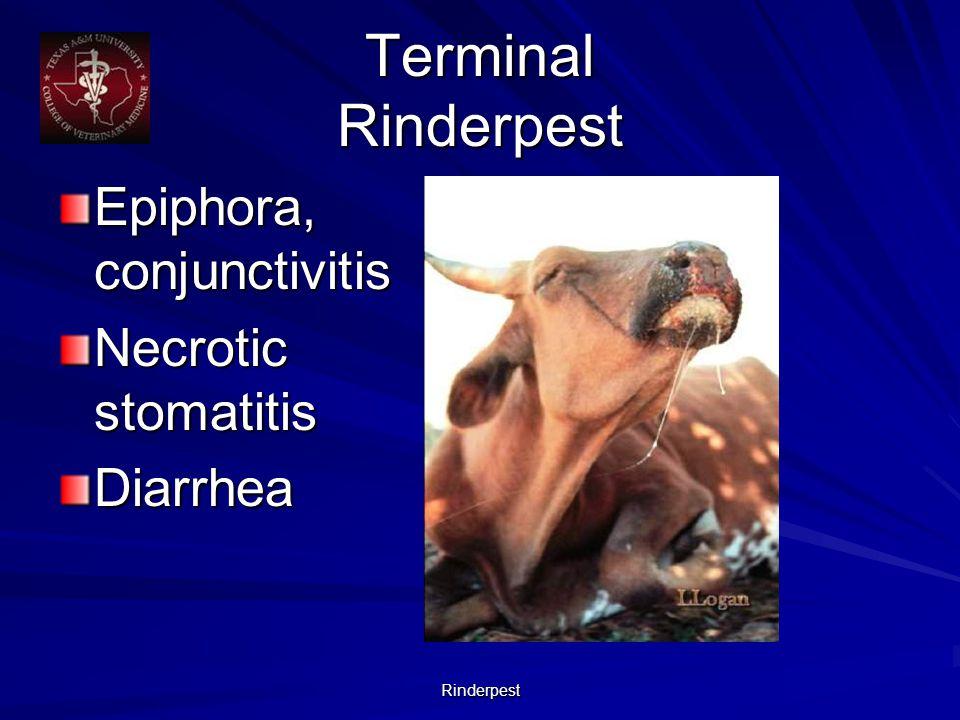 Rinderpest Terminal Rinderpest Epiphora, conjunctivitis Necrotic stomatitis Diarrhea