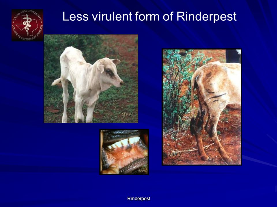 Rinderpest Less virulent form of Rinderpest