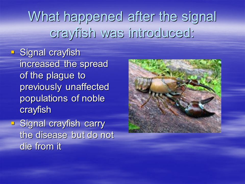 What happened after the signal crayfish was introduced:  Signal crayfish increased the spread of the plague to previously unaffected populations of noble crayfish  Signal crayfish carry the disease but do not die from it