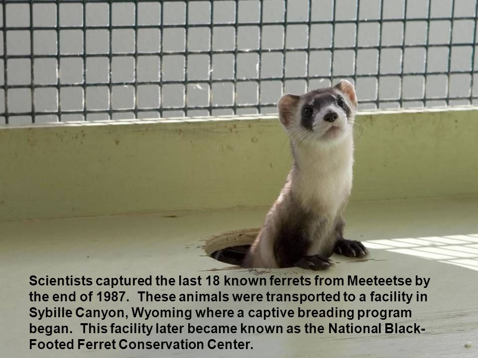 Scientists captured the last 18 known ferrets from Meeteetse by the end of 1987.