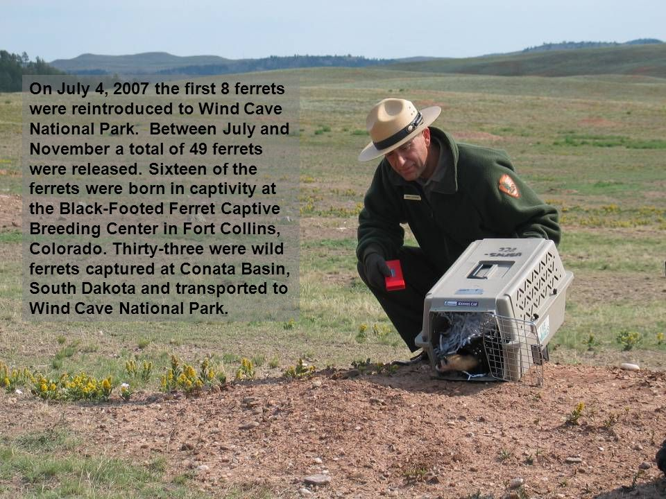 On July 4, 2007 the first 8 ferrets were reintroduced to Wind Cave National Park.