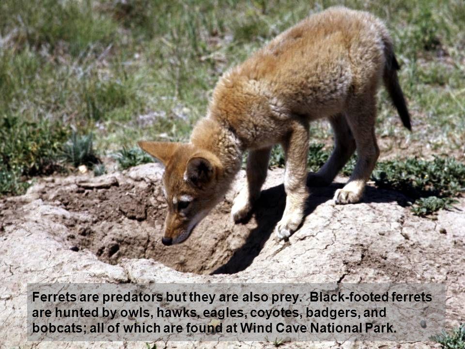 Ferrets are predators but they are also prey.