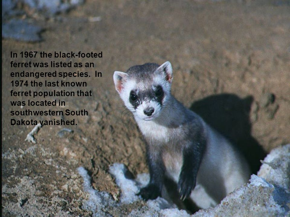In 1967 the black-footed ferret was listed as an endangered species.