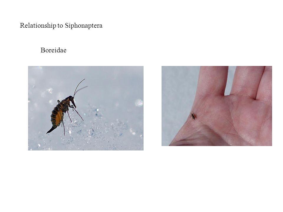 Relationship to Siphonaptera Boreidae
