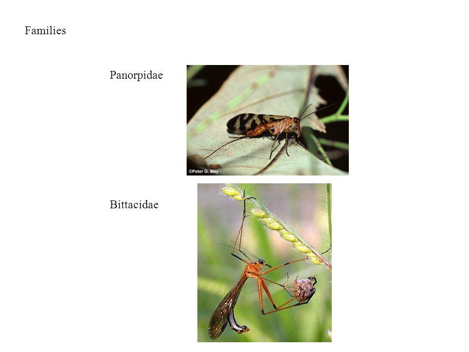 Families Panorpidae Bittacidae