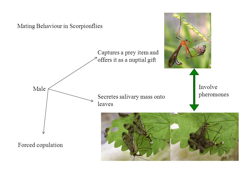 Mating Behaviour in Scorpionflies Male Captures a prey item and offers it as a nuptial gift Secretes salivary mass onto leaves Forced copulation Involve pheromones