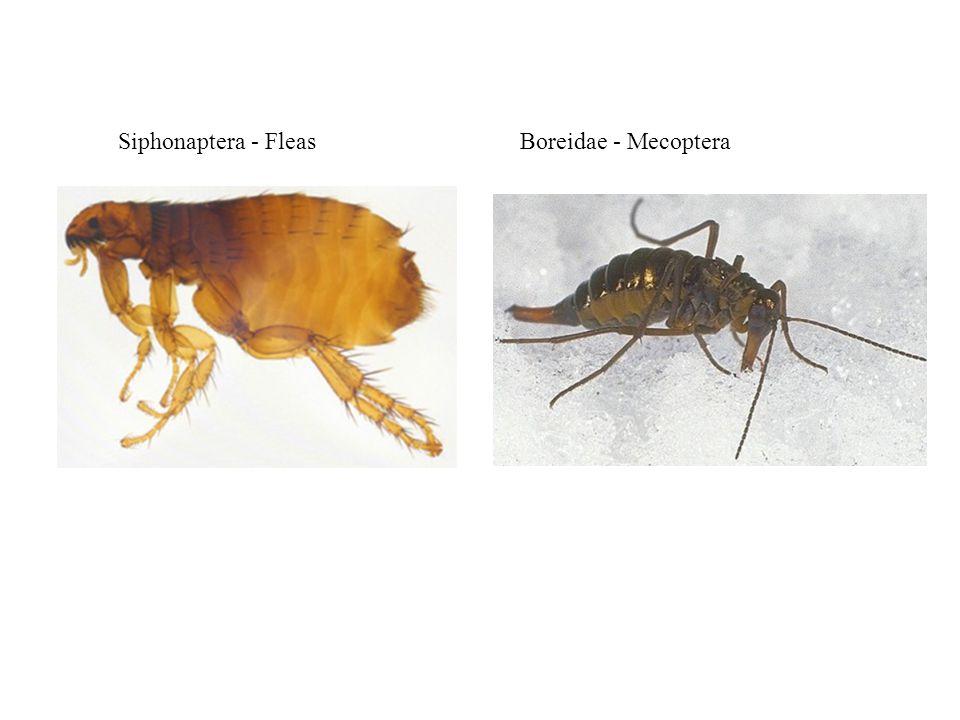 Siphonaptera - FleasBoreidae - Mecoptera