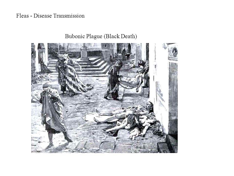 Fleas - Disease Transmission Bubonic Plague (Black Death)