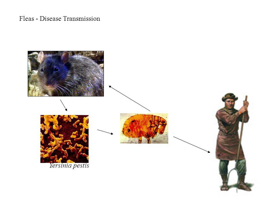 Fleas - Disease Transmission Yersinia pestis