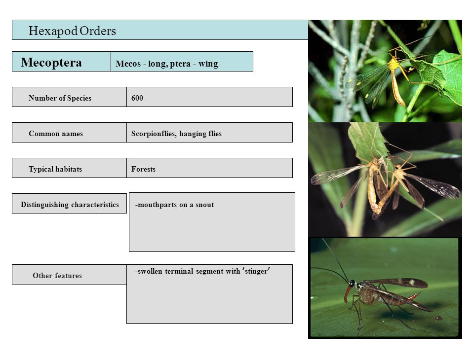 Mecoptera Number of Species Common names Distinguishing characteristics Other features Typical habitats Hexapod Orders 600 Scorpionflies, hanging flies Forests -mouthparts on a snout Mecos - long, ptera - wing -swollen terminal segment with 'stinger'