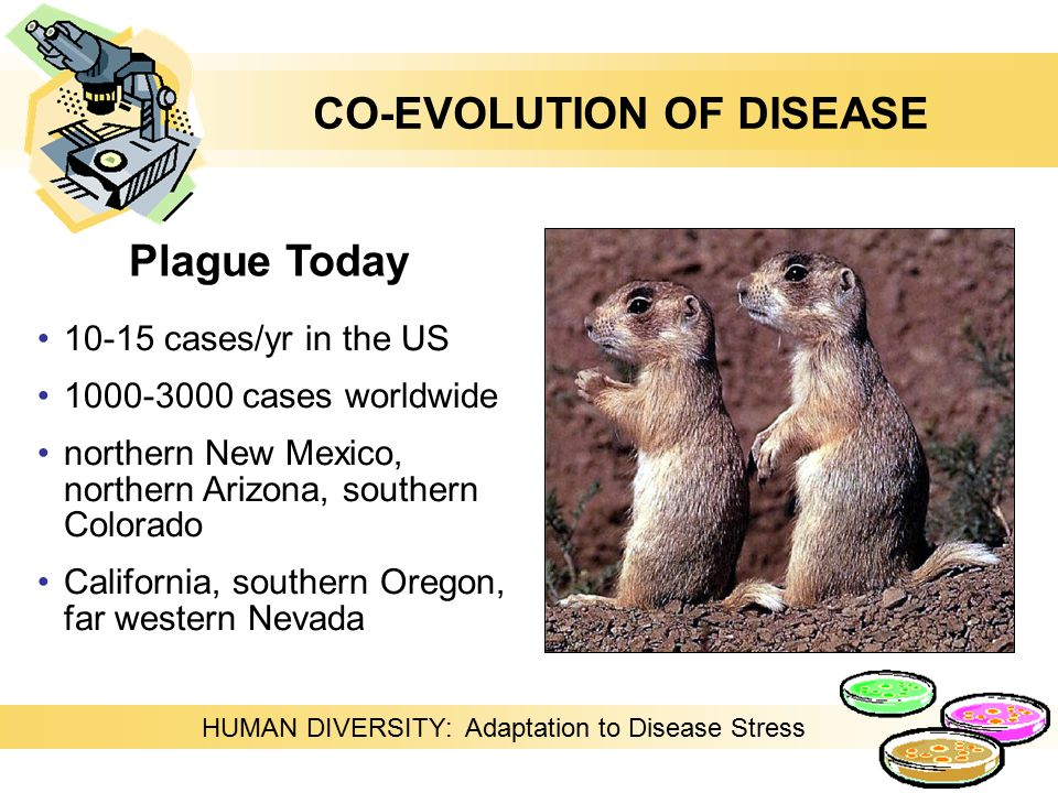HUMAN DIVERSITY: Adaptation to Disease Stress 10-15 cases/yr in the US 1000-3000 cases worldwide northern New Mexico, northern Arizona, southern Colorado California, southern Oregon, far western Nevada Plague Today CO-EVOLUTION OF DISEASE