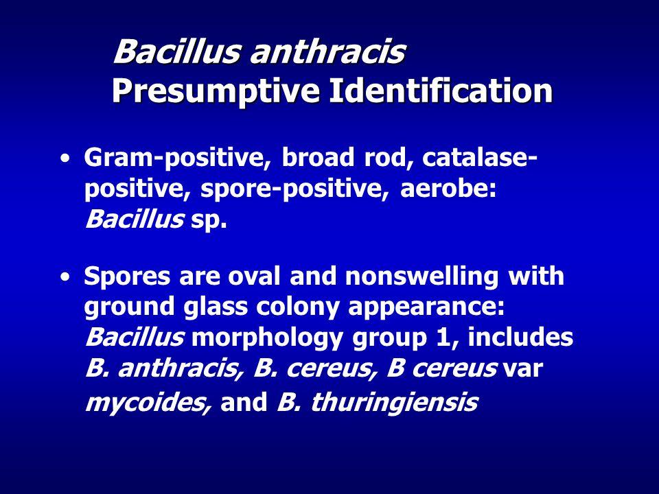 Gram-positive, broad rod, catalase- positive, spore-positive, aerobe: Bacillus sp.
