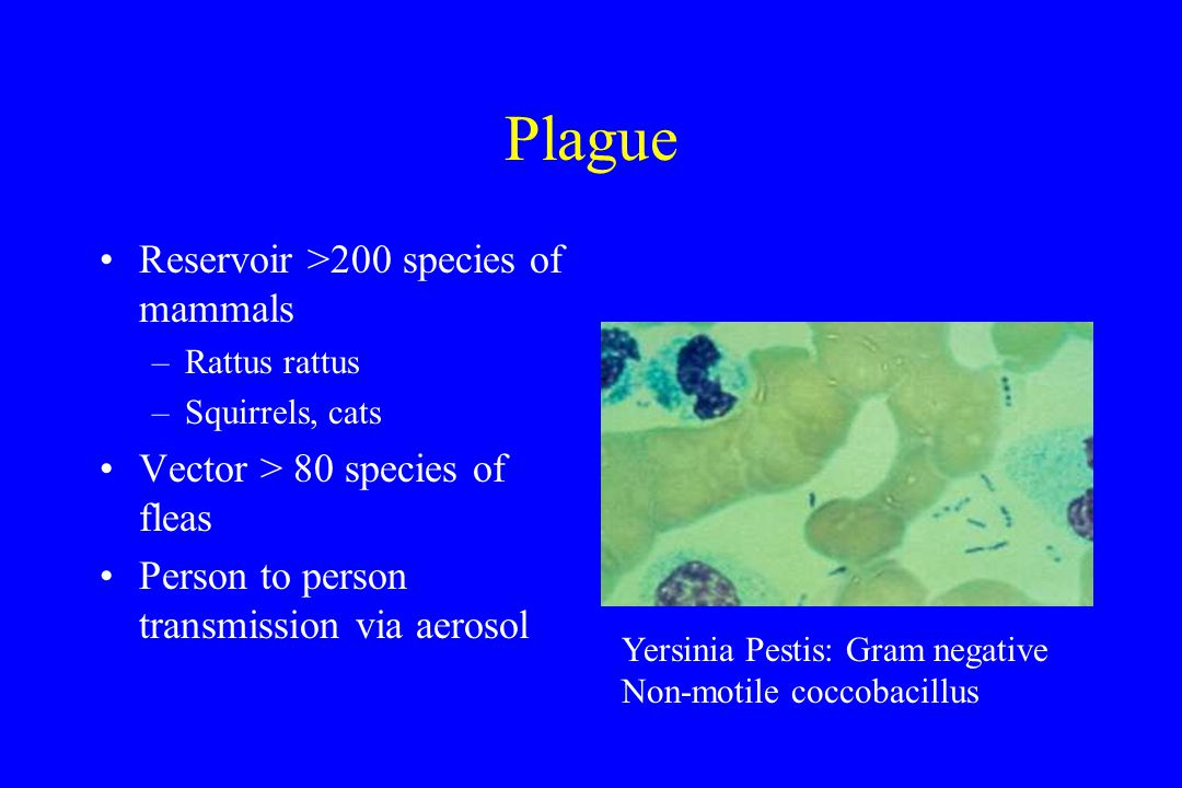 Plague Reservoir >200 species of mammals –Rattus rattus –Squirrels, cats Vector > 80 species of fleas Person to person transmission via aerosol Yersinia Pestis: Gram negative Non-motile coccobacillus