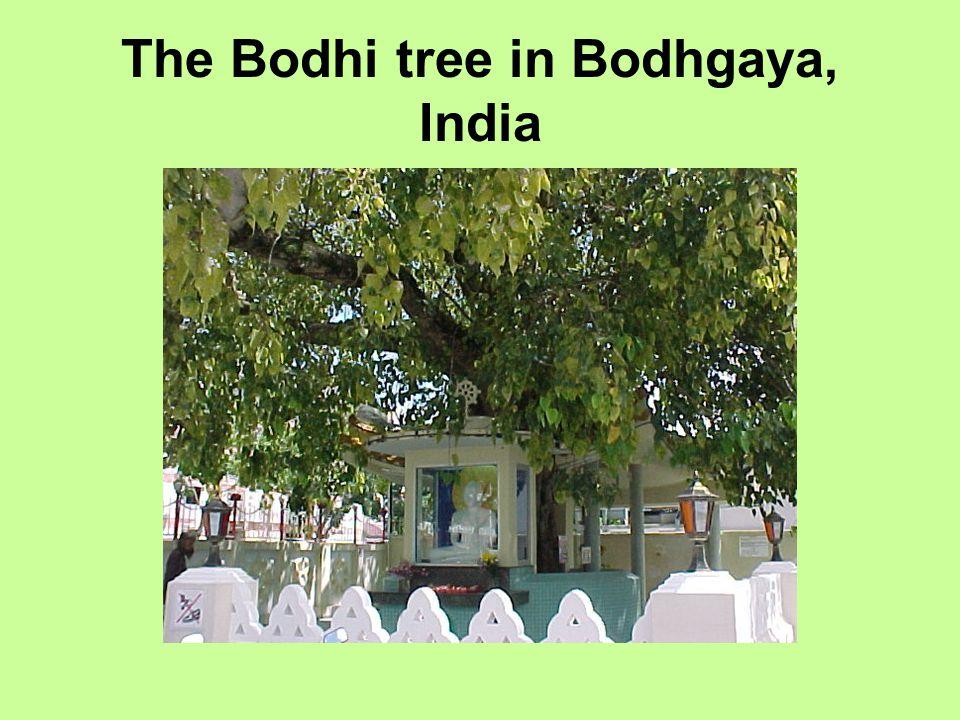 The Bodhi tree in Bodhgaya, India