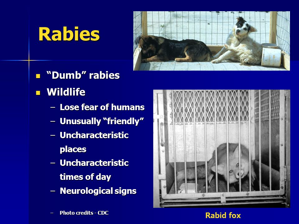 """Rabies """"Dumb"""" rabies """"Dumb"""" rabies Wildlife Wildlife –Lose fear of humans –Unusually """"friendly"""" –Uncharacteristic places –Uncharacteristic times of da"""