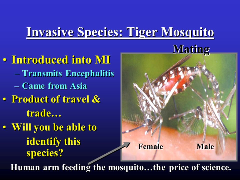 Invasive Species: Tiger Mosquito Introduced into MI –Transmits Encephalitis –Came from Asia Product of travel & trade… Will you be able to identify this species.