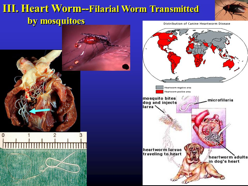 III. Heart Worm-- Filarial Worm Transmitted by mosquitoes