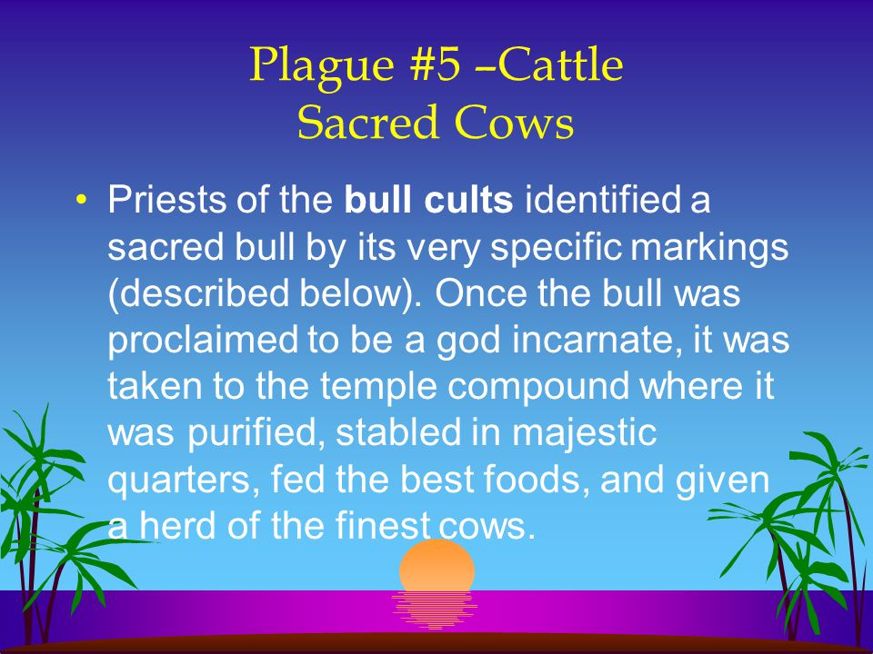 Plague #5 –Cattle Sacred Cows Priests of the bull cults identified a sacred bull by its very specific markings (described below). Once the bull was pr