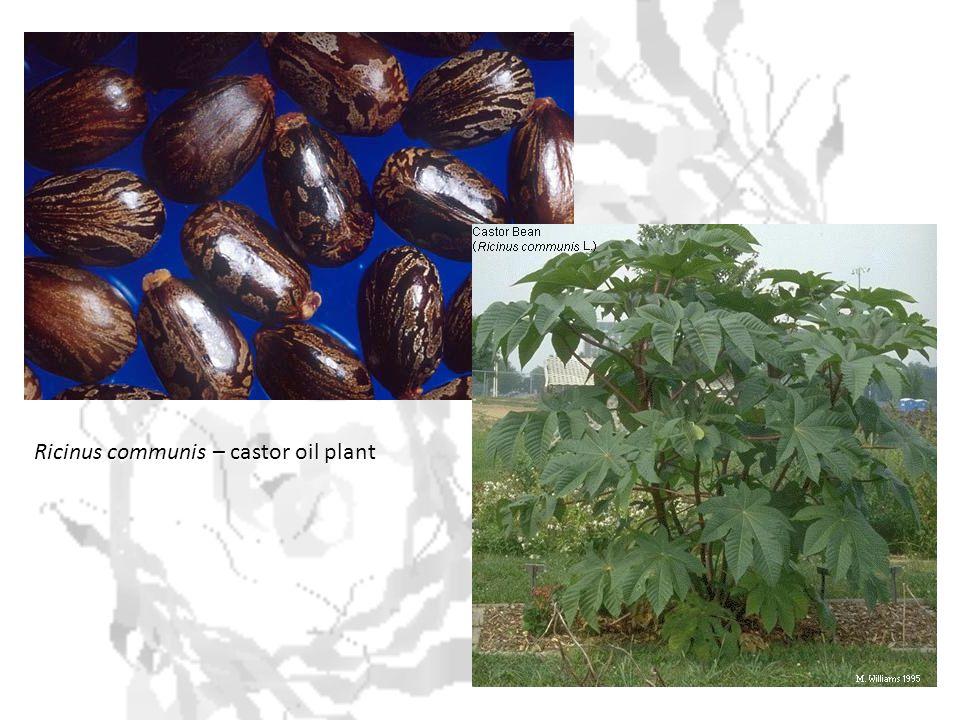 Ricinus communis – castor oil plant