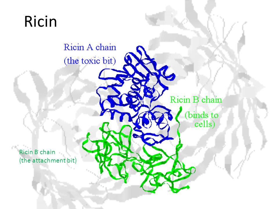 Ricin Ricin B chain (the attachment bit)
