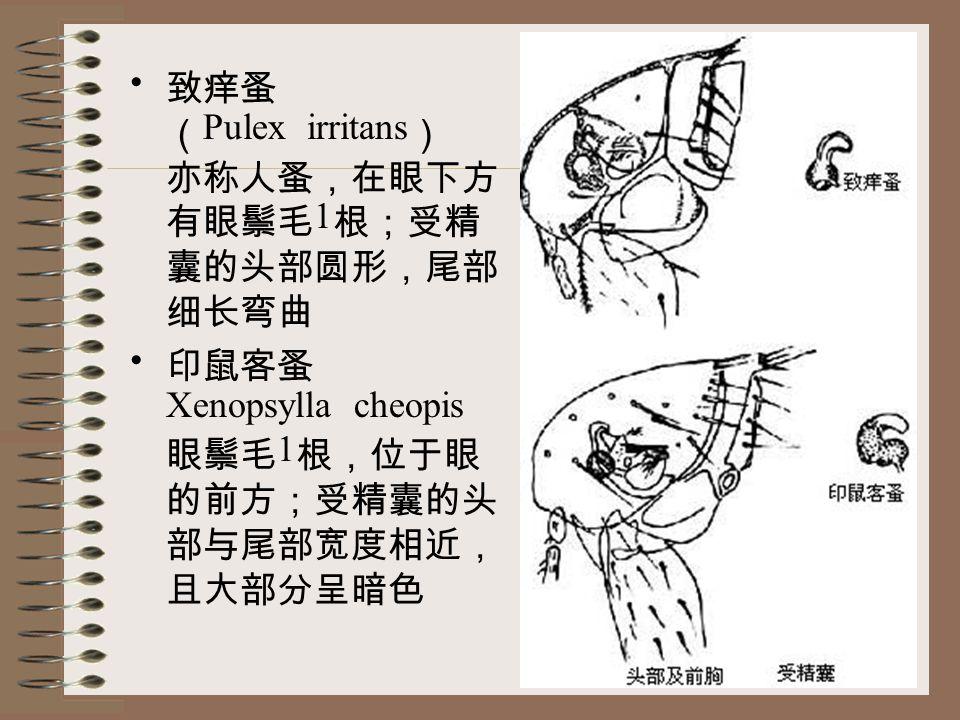 致痒蚤 ( Pulex irritans ) 亦称人蚤,在眼下方 有眼鬃毛 1 根;受精 囊的头部圆形,尾部 细长弯曲 印鼠客蚤 Xenopsylla cheopis 眼鬃毛 1 根,位于眼 的前方;受精囊的头 部与尾部宽度相近, 且大部分呈暗色