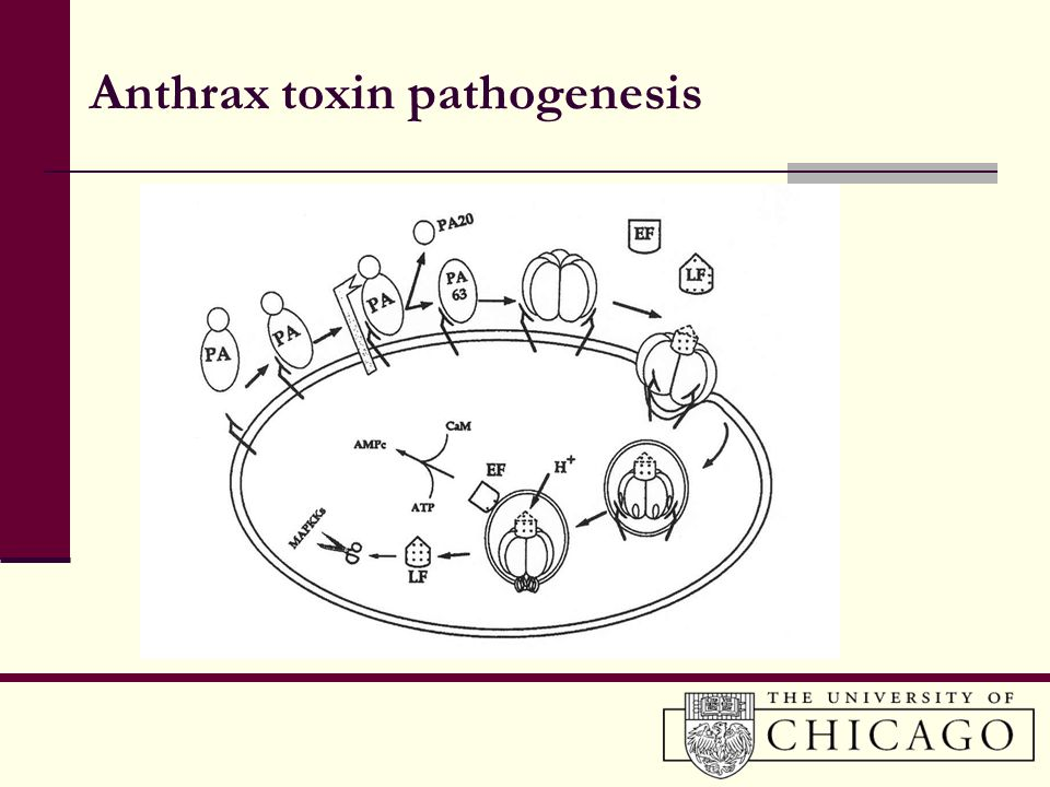 Anthrax toxin pathogenesis