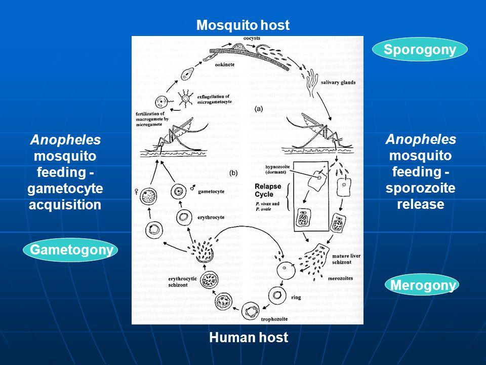 Anopheles mosquito feeding - sporozoite release Mosquito host Human host Anopheles mosquito feeding - gametocyte acquisition Merogony Gametogony Sporogony