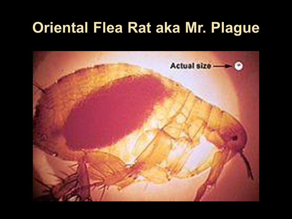 Oriental Flea Rat aka Mr. Plague