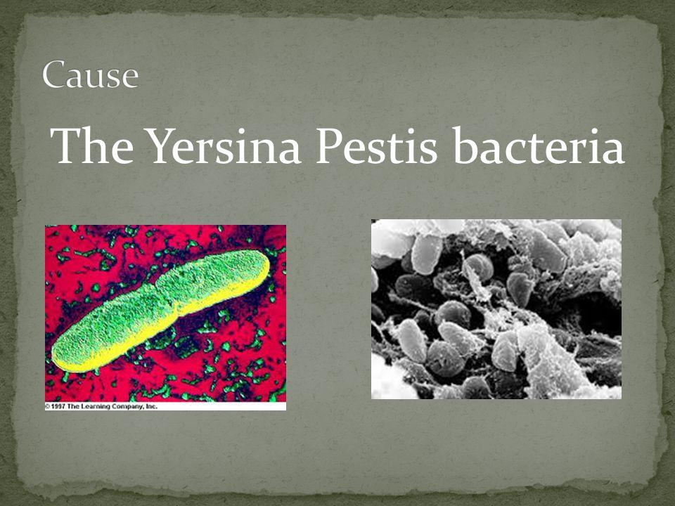 The Yersina Pestis bacteria