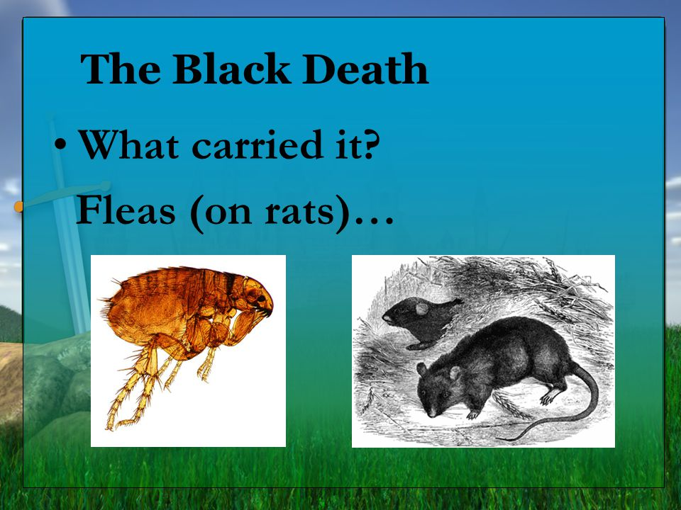 The Black Death What carried it? Fleas (on rats)…