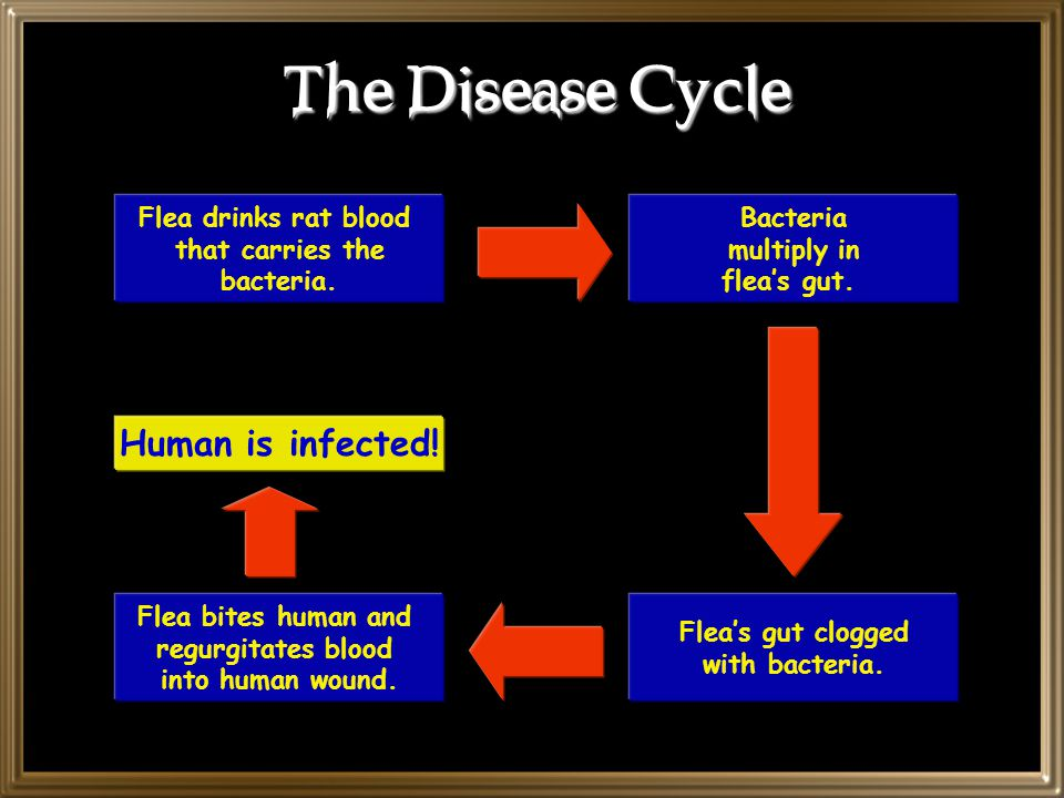 The Disease Cycle Flea drinks rat blood that carries the bacteria.