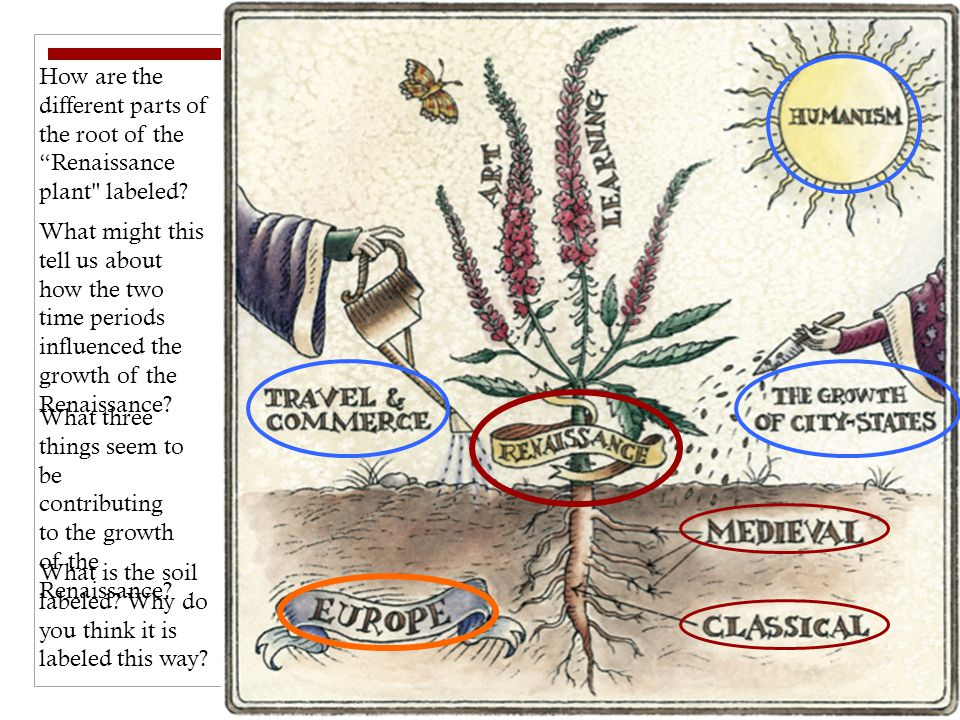 How are the different parts of the root of the Renaissance plant labeled.