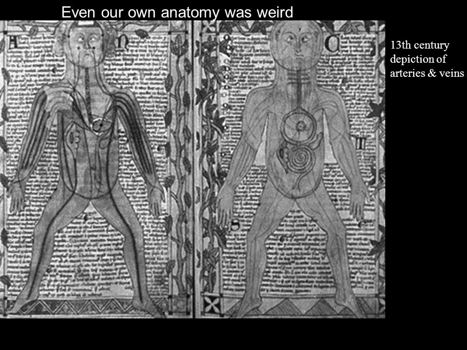 13th century depiction of arteries & veins Even our own anatomy was weird