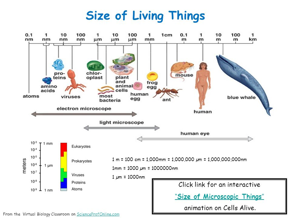 Size of Living Things 1 m = 100 cm = 1,000mm = 1,000,000 µm = 1,000,000,000nm 1mm = 1000 µm = 1000000nm 1 µm = 1000nm Click link for an interactive Size of Microscopic Things animation on Cells Alive.