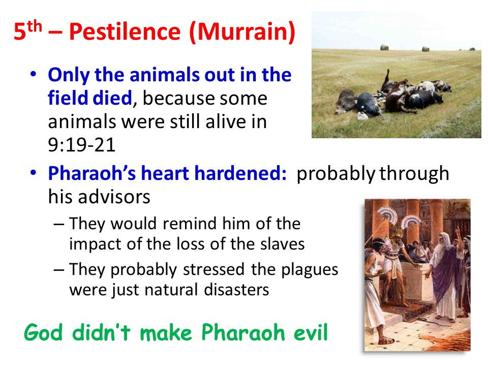 Only the animals out in the field died, because some animals were still alive in 9:19-21 Pharaoh's heart hardened: probably through his advisors – They would remind him of the impact of the loss of the slaves – They probably stressed the plagues were just natural disasters God didn't make Pharaoh evil 5 th – Pestilence (Murrain)