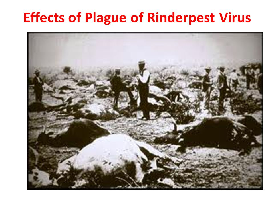 Effects of Plague of Rinderpest Virus