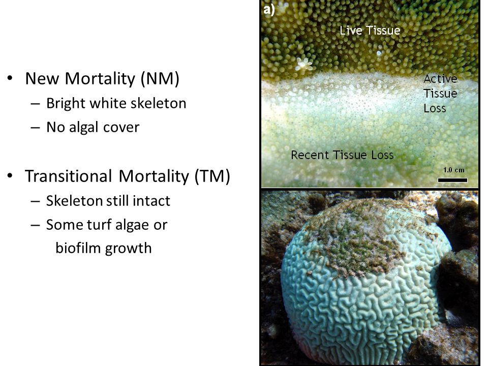 New Mortality (NM) – Bright white skeleton – No algal cover Transitional Mortality (TM) – Skeleton still intact – Some turf algae or biofilm growth