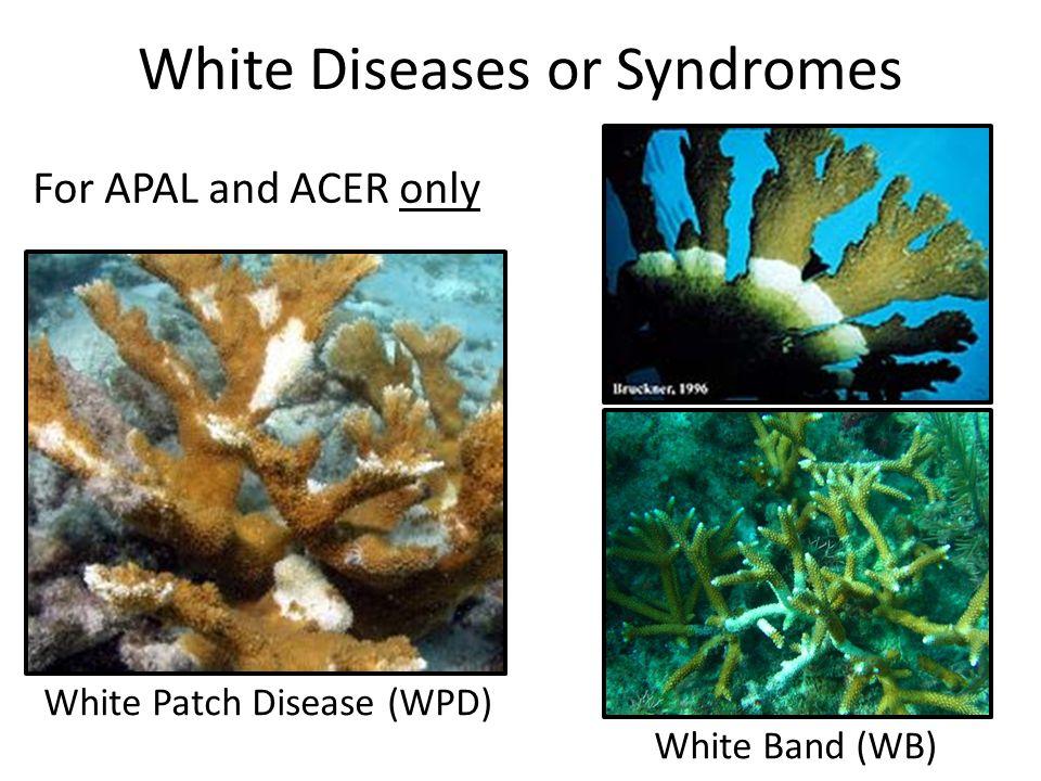 Bleaching Bleaching (BL) – Polyps still living, skeleton not bare Pale (P) SSID