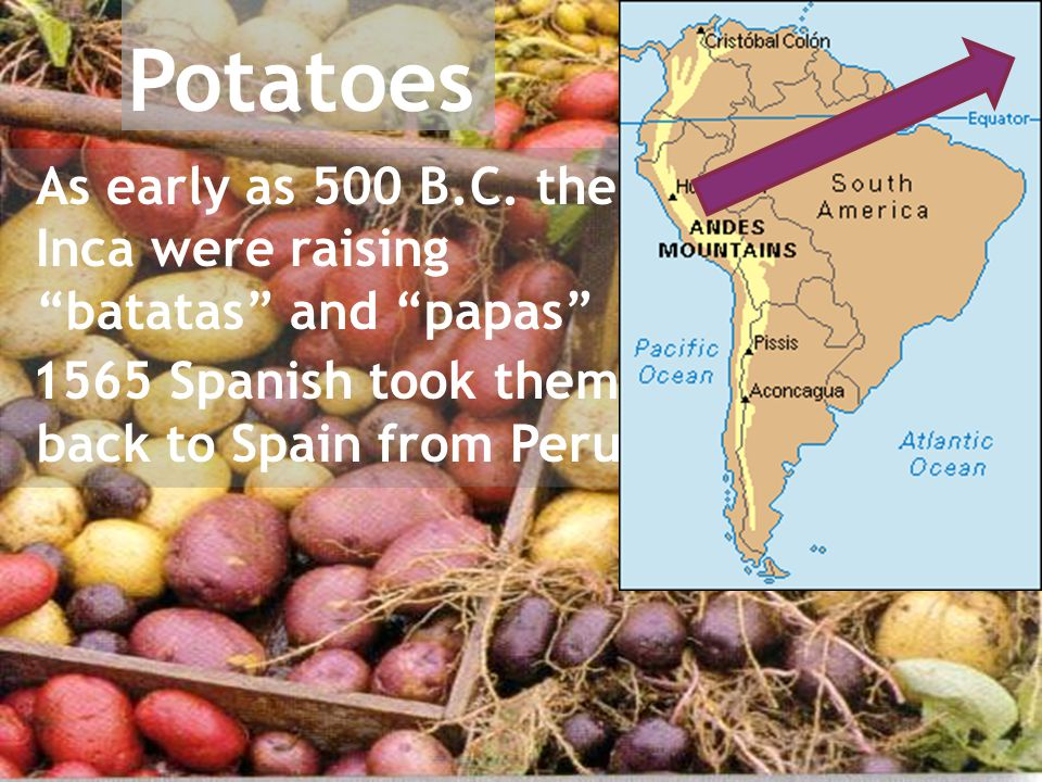 "As early as 500 B.C. the Inca were raising ""batatas"" and ""papas"" 1565 Spanish took them back to Spain from Peru"