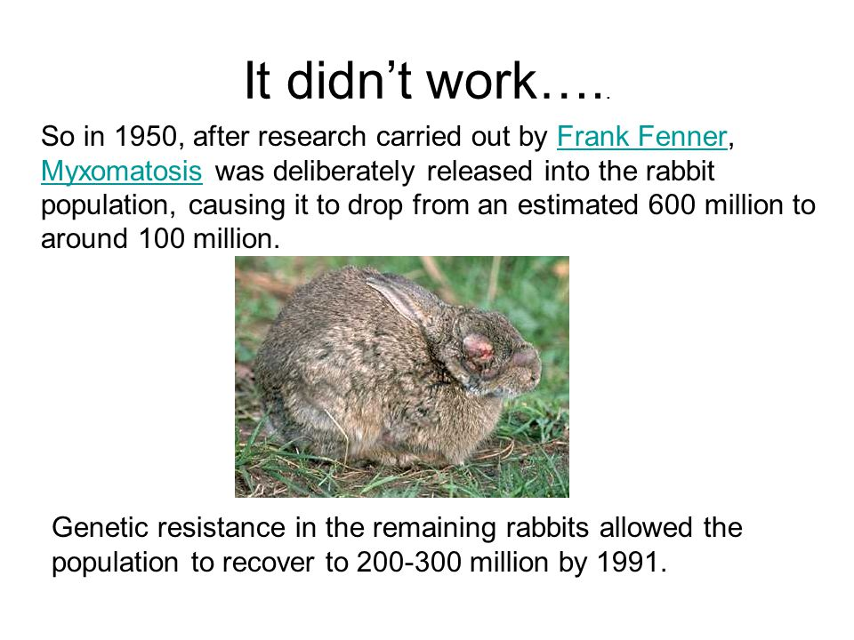 It didn't work….. So in 1950, after research carried out by Frank Fenner, Myxomatosis was deliberately released into the rabbit population, causing it